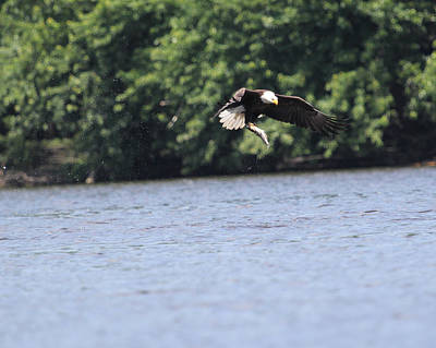 Bald Eagle Photograph - Nice Catch by Bruce  Morrell