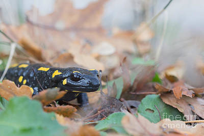 Fire Salamander Photograph - Nice Fire Salamander by Jivko Nakev