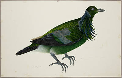 Watercolour Photograph - Nicobar Pigeon by British Library