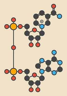 Mitochondrion Photograph - Nicotinamide Molecule by Molekuul