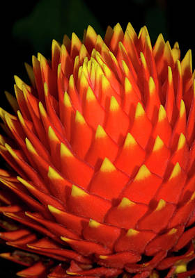 Bromeliad Photograph - Nidularium 'fireball' by Nigel Downer