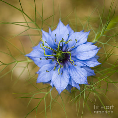 Nigella Damascena Art Print by Anne Gilbert