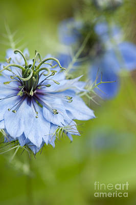 Stamen Photograph - Nigella Damascena  by Tim Gainey