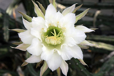 Night Blooming Cereus 2 Art Print