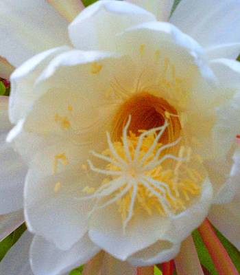 Photograph - Night Blooming Cereus by Tammy Bullard