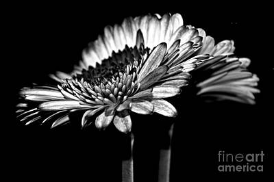 Gerbera Photograph - Night by Clare Bevan