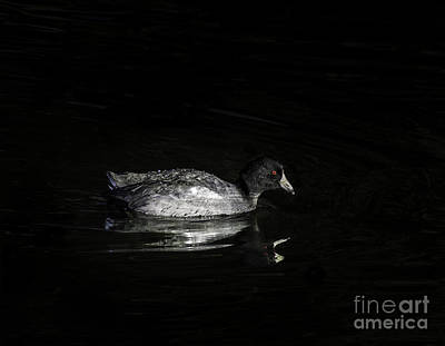 Clearlake Photograph - Night Coot by Mitch Shindelbower