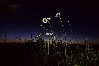 Photograph - Night Daisies by Emily Stauring