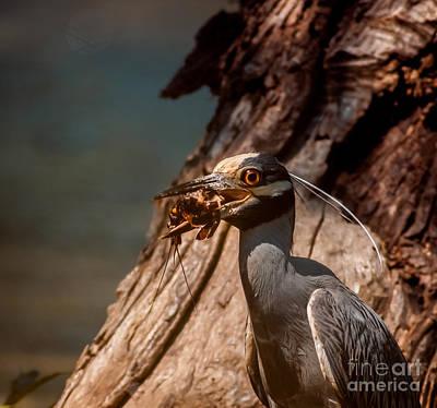 Crawfish Photograph - Night Heron And Crawdaddy by Robert Frederick