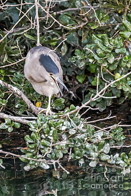Photograph - Night Heron Calling by Kate Brown