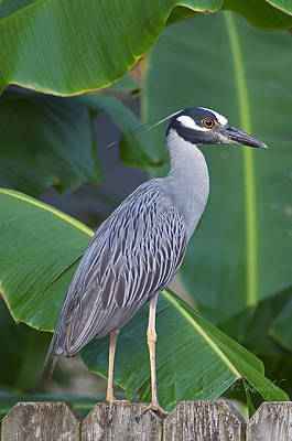 Night Heron Art Print by Cheri Randolph