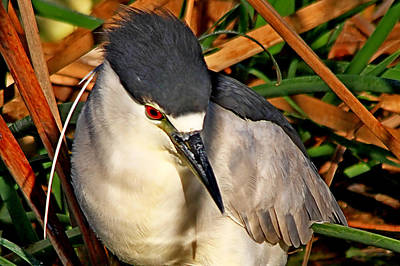 Photograph - Night Heron Closeup by Ira Runyan