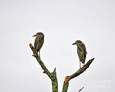Night Heron Juveniles Art Print by Al Powell Photography USA