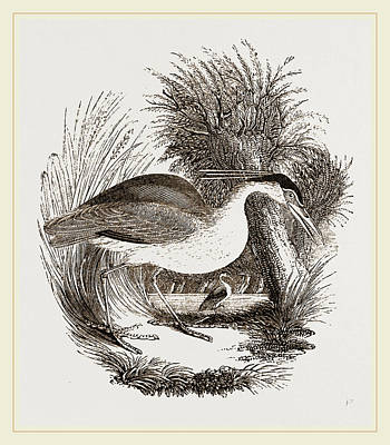Herons Drawing - Night-heron by Litz Collection