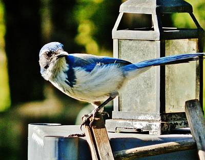Photograph - Night Jay by VLee Watson