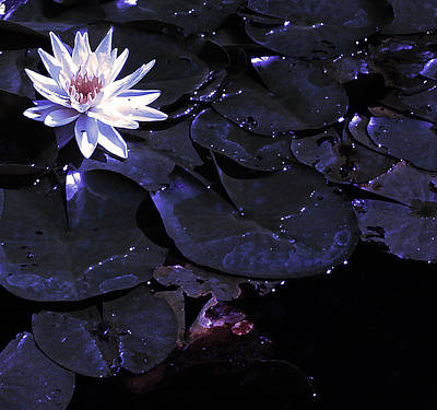 Photograph - Night Lotus by Anne Cameron Cutri