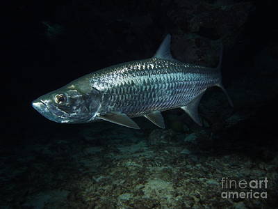 Barracuda Photograph - Night Tarpon by Carey Chen
