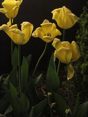 Photograph - Night Tulips by Guy Ricketts