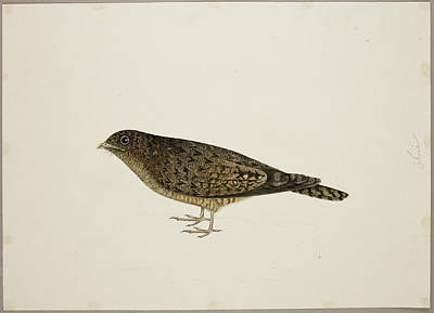 Watercolour Photograph - Nightjar by British Library