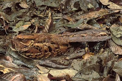 Nightjar, Caprimulgus Sp., Nesting Art Print