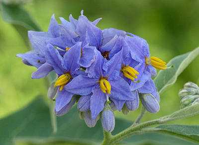 Photograph - Nightshade Flora by Cindy McDaniel