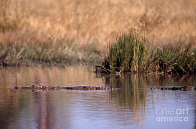Crocodile Photograph - Nile Crocodile by Gregory G. Dimijian, M.D.