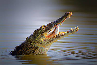 Feed Photograph - Nile Crocodile Swollowing Fish by Johan Swanepoel