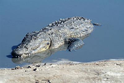 Crocodile Wall Art - Photograph - Nile Crocodile by Tony Camacho/science Photo Library