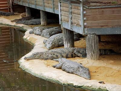 Crocodile Wall Art - Photograph - Nile Crocodiles At A Crocodile Farm by Pascal Goetgheluck/science Photo Library