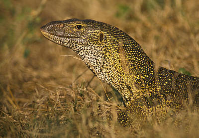 Photograph - Nile Monitor, Varanus Niloticus by Frans Lanting/MINT Images