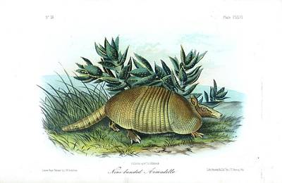 Coloured Drawing - Nine-banded Armadillo by Celestial Images