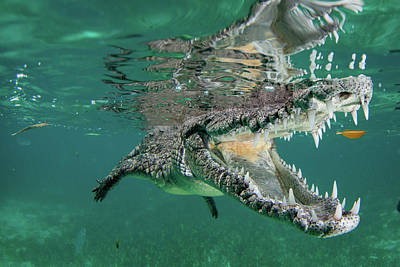 Crocodile Wall Art - Photograph - Nino The Croc by Q. Phia Sherry