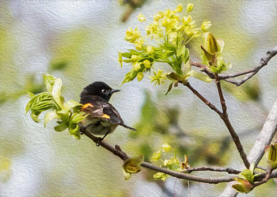 Photograph - American Redstart 1 Of 3 by Patti Deters