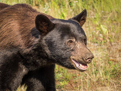Photograph - Black Bear Smile by Patti Deters