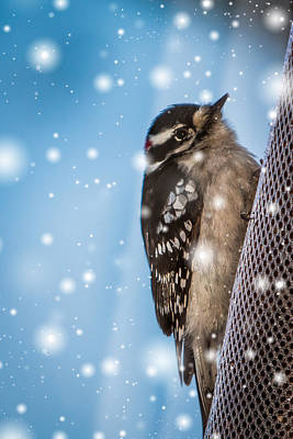 Photograph - Snowy Downy Woodpecker by Patti Deters