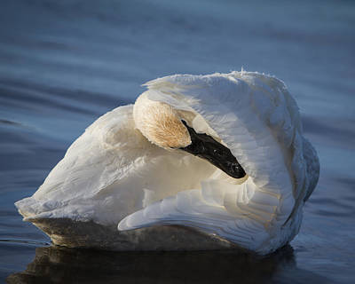 Animals Royalty-Free and Rights-Managed Images - Swan Tuck by Patti Deters