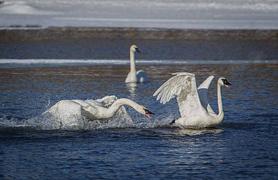 Photograph - Feisty Trumpeter Swans by Patti Deters
