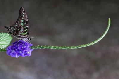 Butterfly - Tailed Jay II Art Print