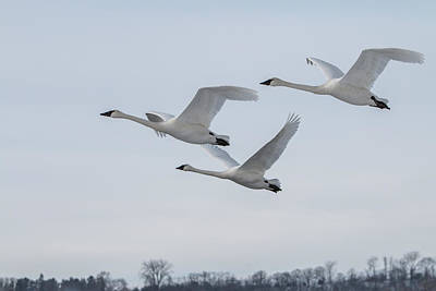 Photograph - Three Swans In Flight by Patti Deters
