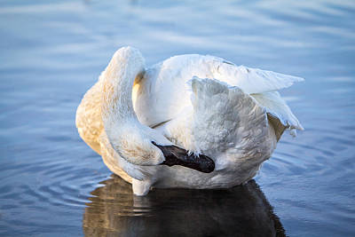 Photograph - Trumpeter Swan Preening by Patti Deters