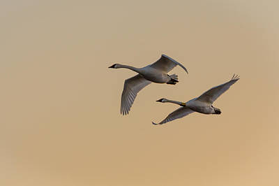 Photograph - Trumpeter Swans Golden Flight by Patti Deters
