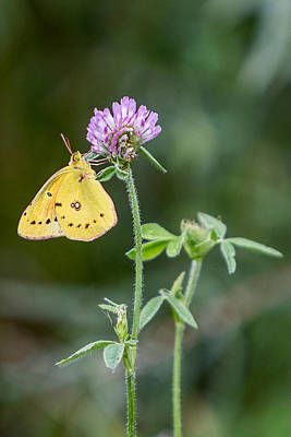 Colias Philodice Photograph - Butterfly - Orange Sulphur On Clover by Patti Deters