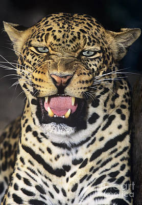 Art Print featuring the photograph No Solicitors African Leopard Endangered Species Wildlife Rescue by Dave Welling