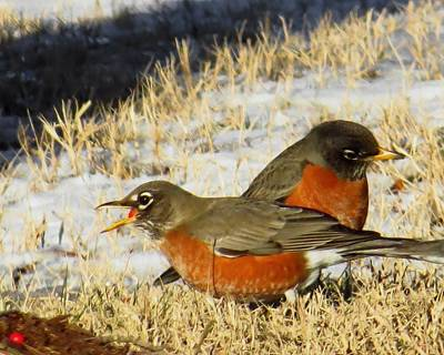 Robin Photograph - No Time To Chew by Scott Cameron