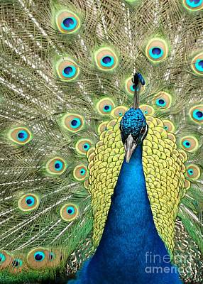 Photograph - Noble Peacock by Sabrina L Ryan