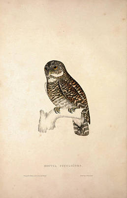 Asian Artist Drawing - Noctua Cuculoides. Birds From The Himalaya Mountains by Quint Lox