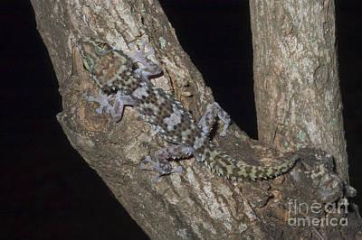 Nocturnal Gecko Art Print