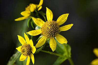 Photograph - Nodding Bur Marigold by Christina Rollo