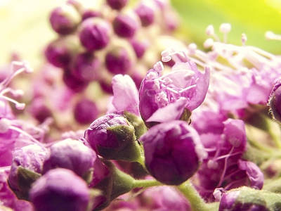 Photograph - Nodes Of A Lilac by Yvon van der Wijk