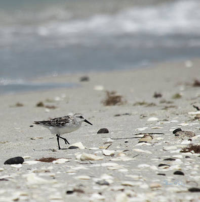 Photograph - Nokomis Beach Piper by Susan Molnar
